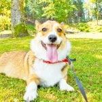 公園を散歩するコーギー犬